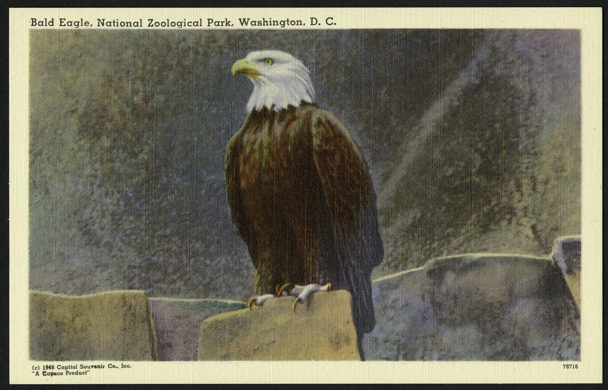 Blank Postcard of a Bald Eagle at the Zoo