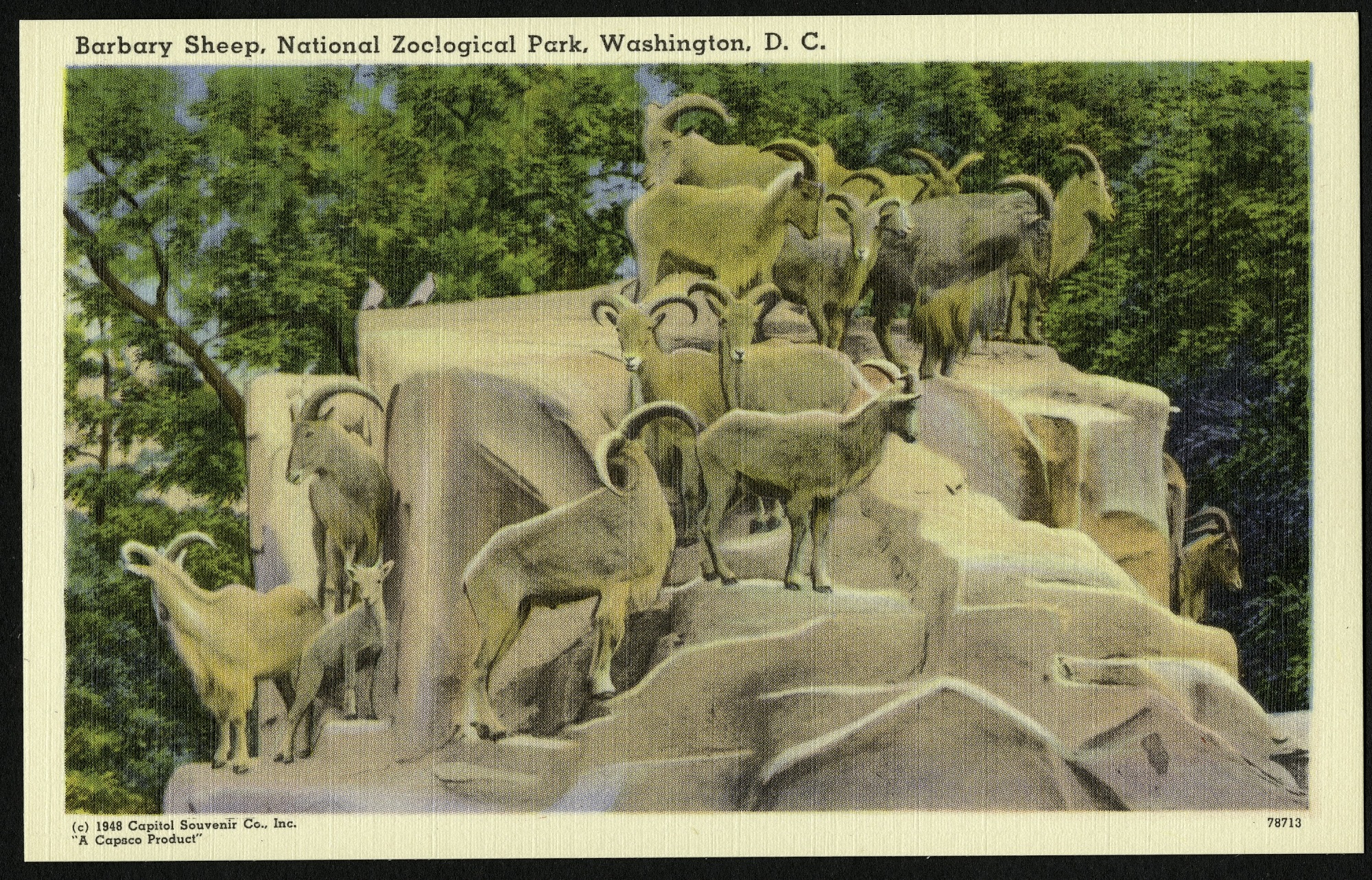 Blank Postcard of Barbary Sheep at the Zoo