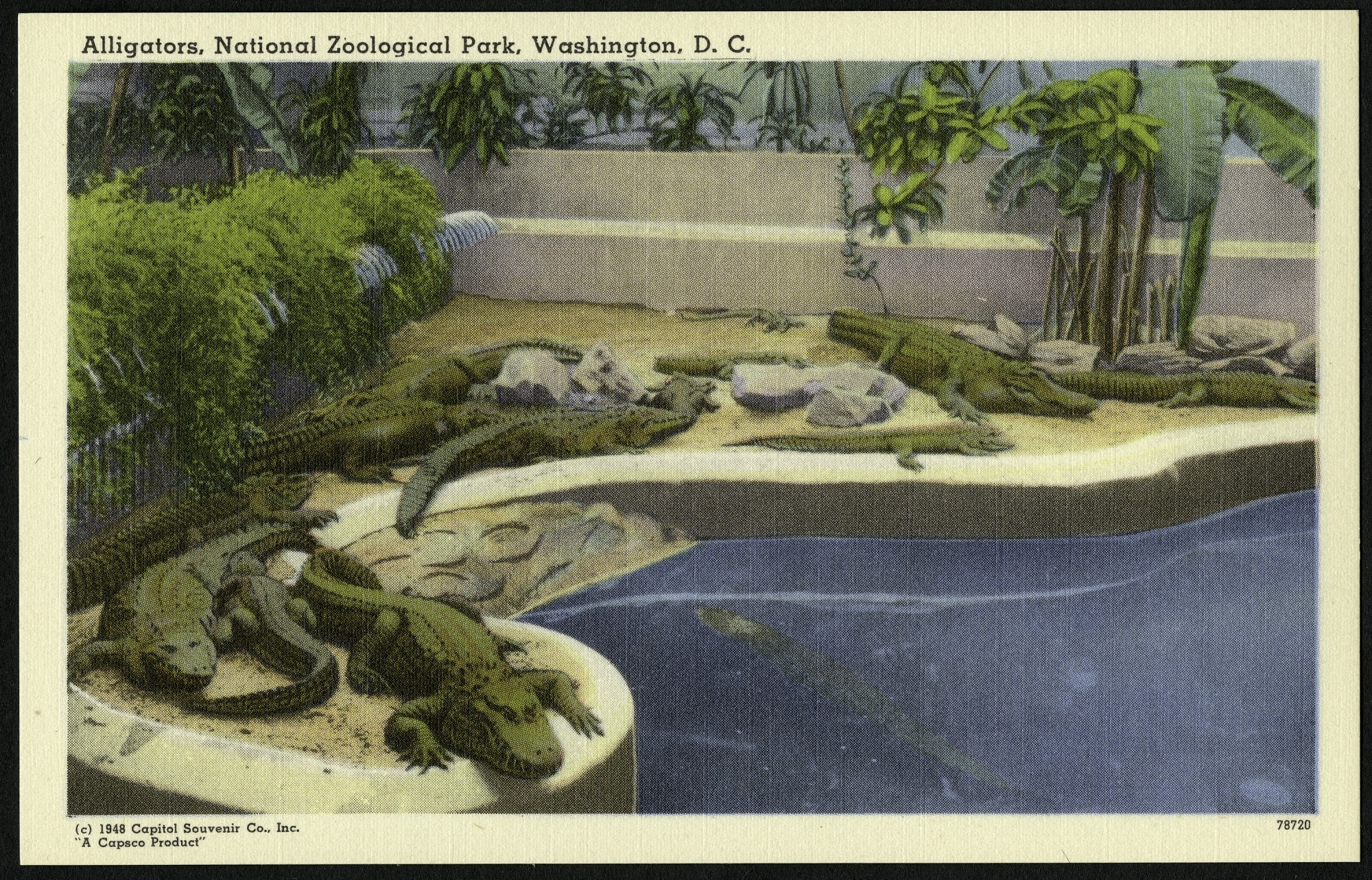 Blank Postcard of Alligators at the Zoo