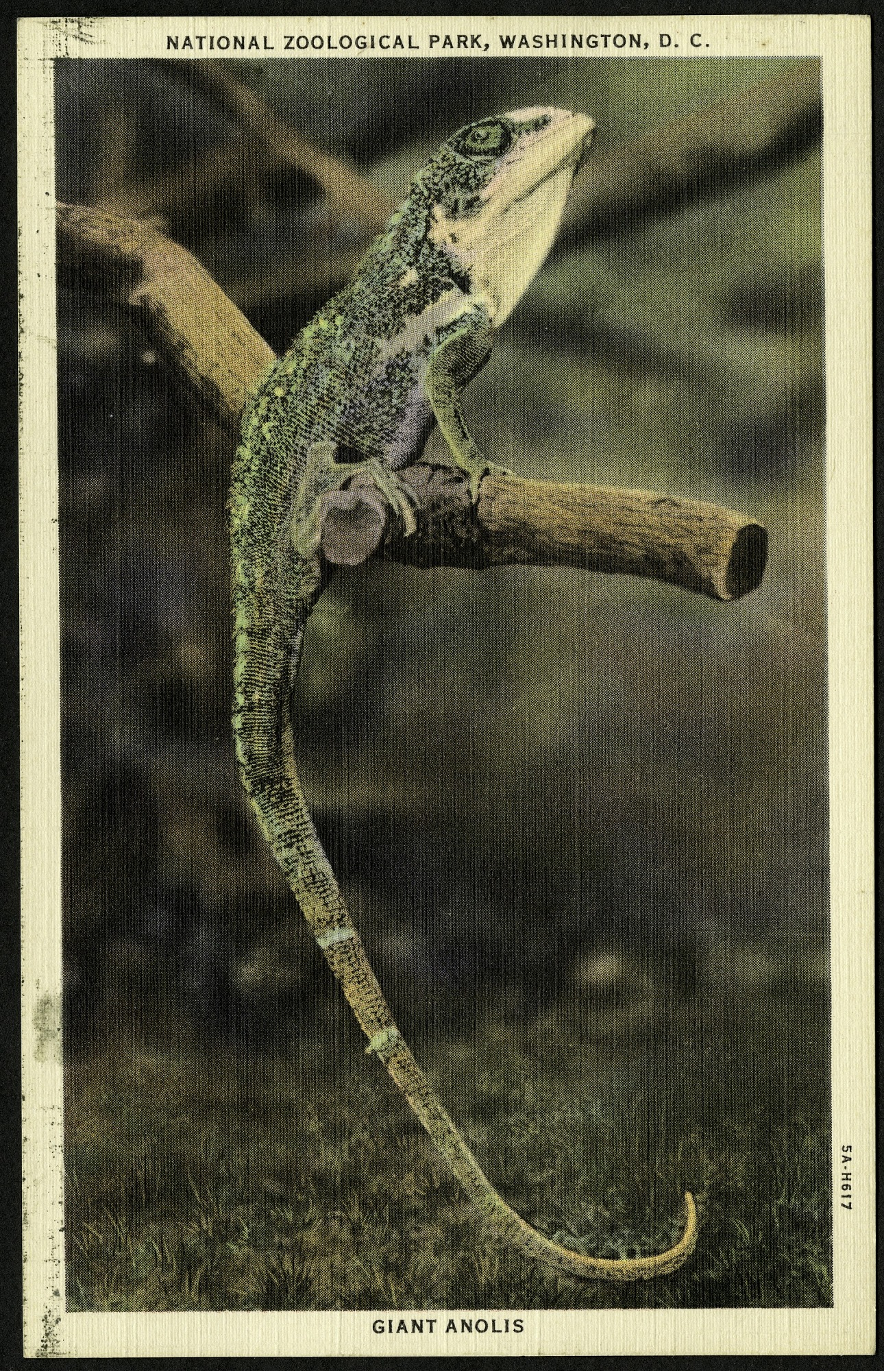 Blank Postcard of a Giant Anolis at the Zoo