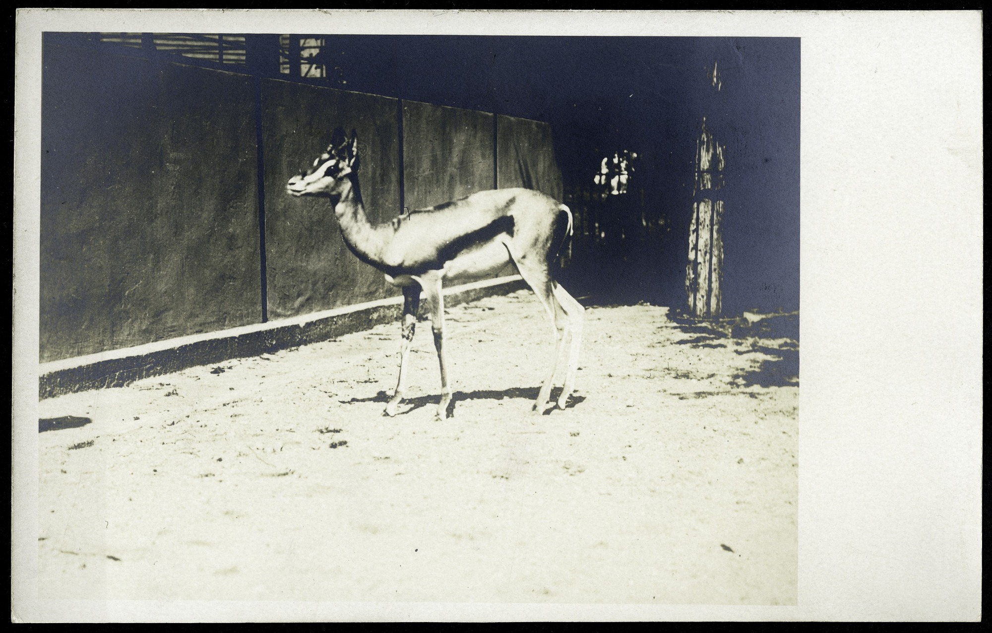 Postcard of a Gazelle