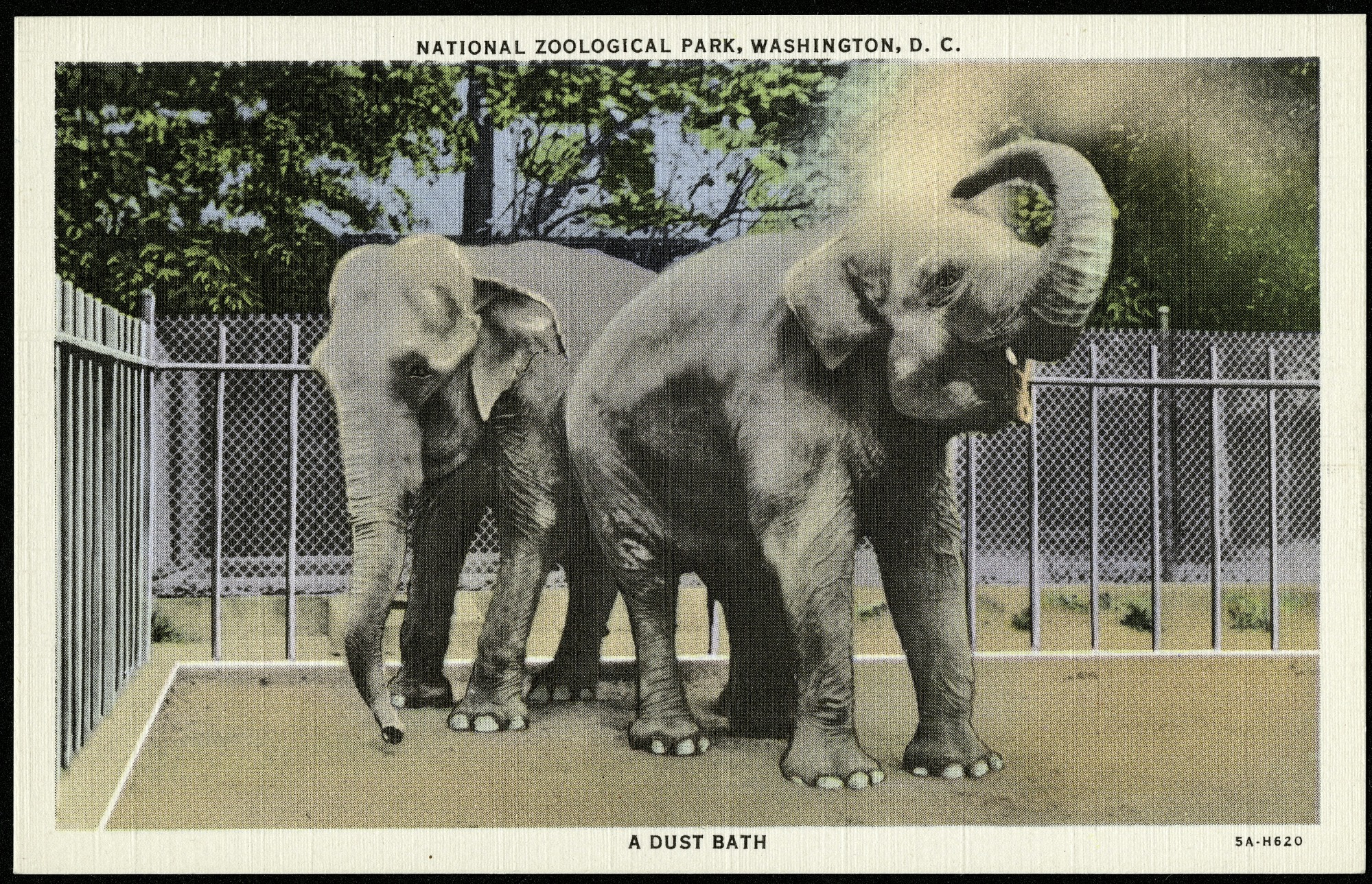 "Postcard of Elephants Taking a ""Dust Bath"""