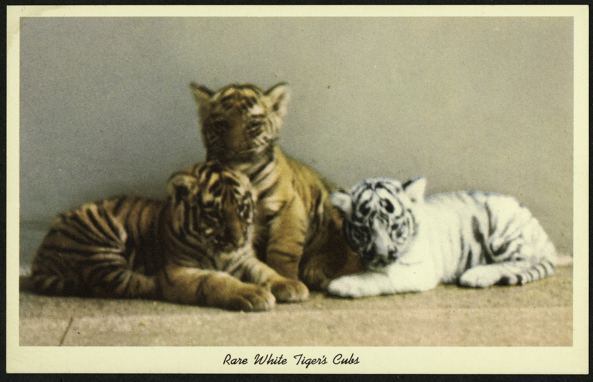 Blank Postcard of Rare White Tiger's Cubs
