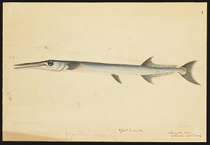 Image of Drawings of Belone, Hemisamphius and other unidentified fishes (two drawings removed to Box 7)