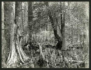 Image of Dismal Swamp