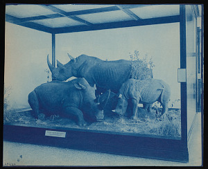 Image of Mammals Exhibits, Natural History Building - Square-Lipped Rhinoceros Group