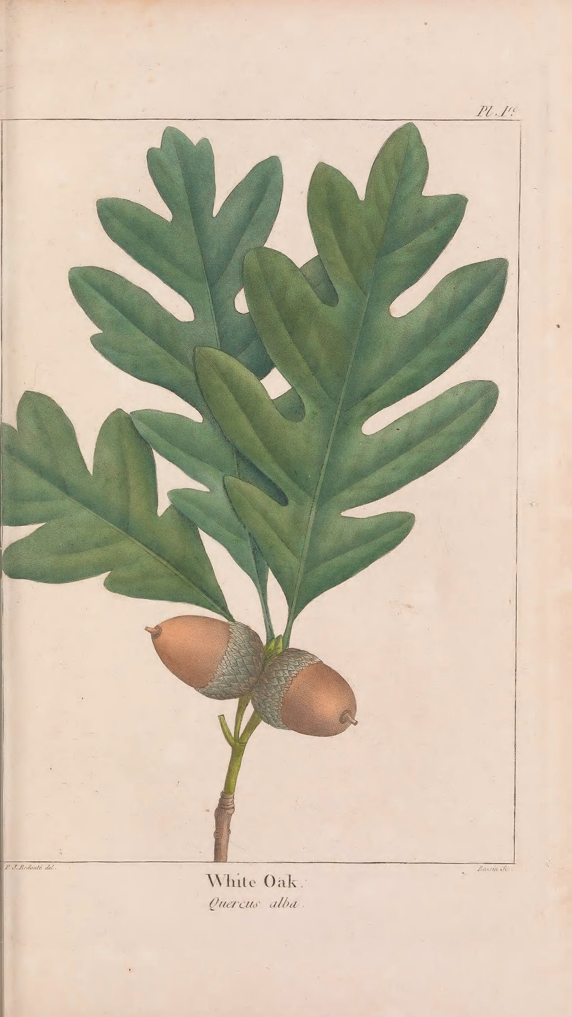 Illustration of leaves and seeds of the white oak