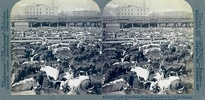 """Stereocard of """"Cattle in the Great Union Stock Yards,"""" late 1800s-early 1900s"""