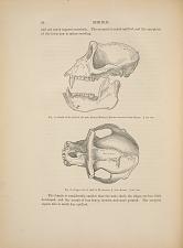 SIMMIDAE. Fig. 1. - Profile of the skull of the male Leonine Monkey (Macacus leoninus) from Burma. 3/4 nat. size. Fig. 2. - Upper view of skull of M. Leoninus, from Burma. 3/4 nat. size.