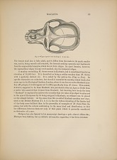 MACACUS. Fig. 6. - Upper aspect of the skull fig. 5. 3/4 nat. size.