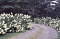 [Dethero Cottage] [slide]: hydrangea-lined driveway,  Name: {