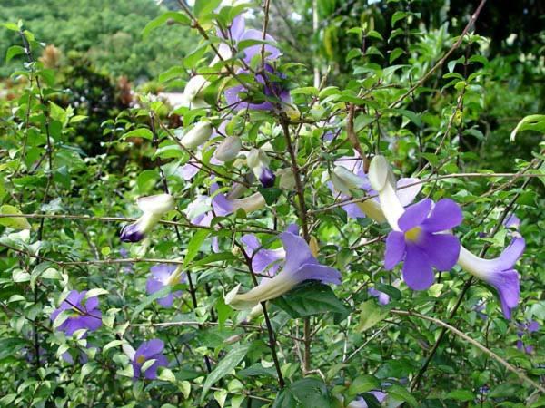 Acanthaceae - Thunbergia erecta (bush clockvine)