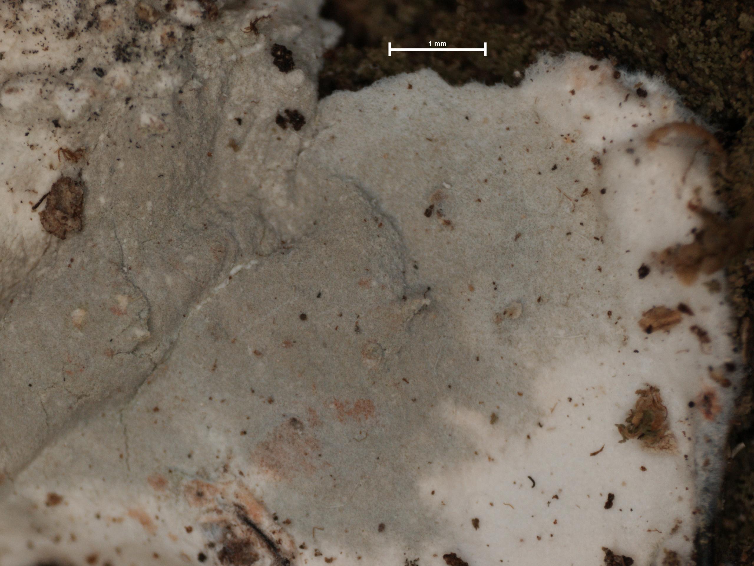 Arthonia montagnei image