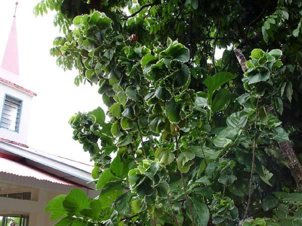 Euphorbiaceae - Acalypha wilkesiana