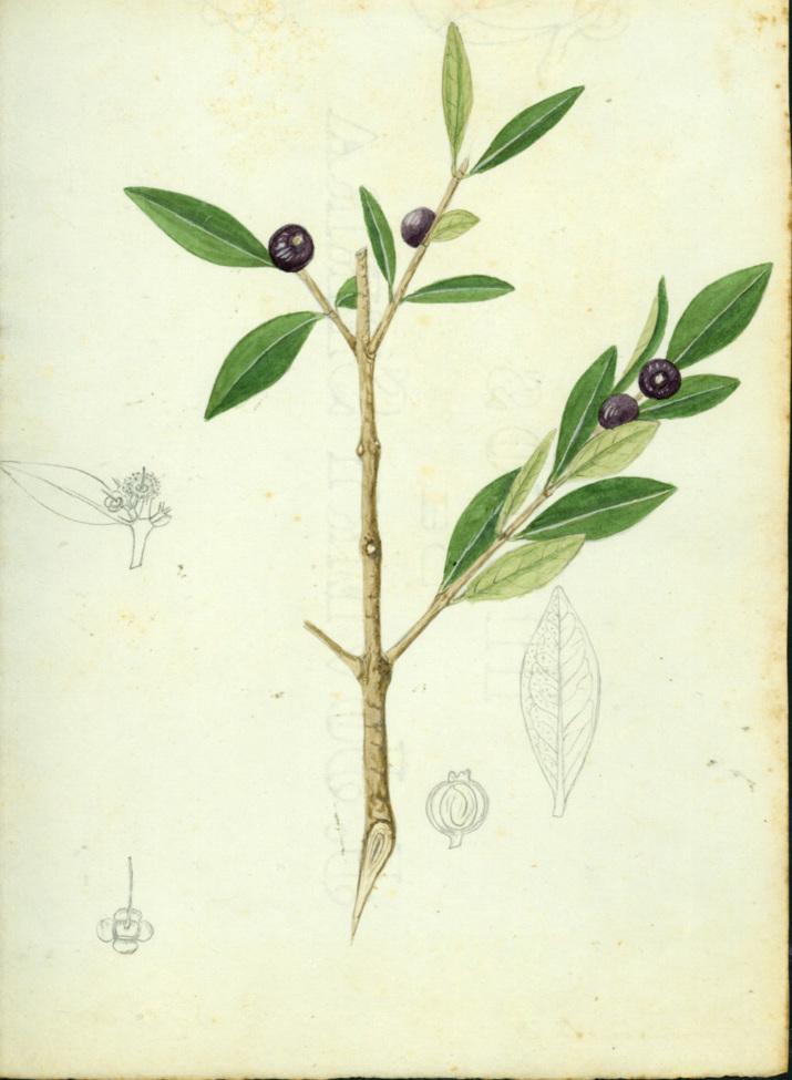 Eugenia monticola image