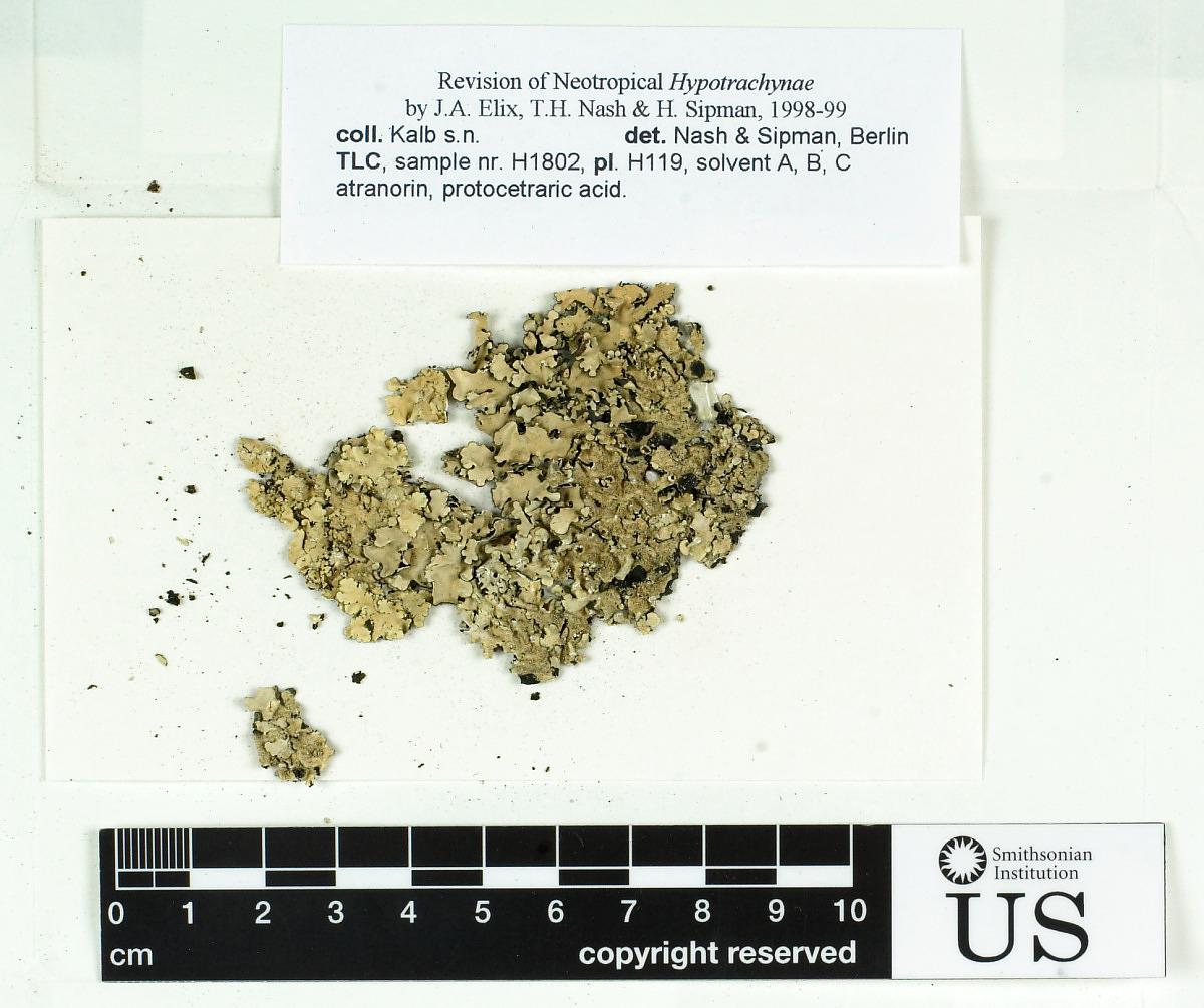 Remototrachyna consimilis image