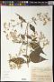 Ayapana trinitensis (Kuntze) R.M. King & H. Rob.