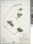 Phaseolus leptostachyus Benth. var. leptostachyus
