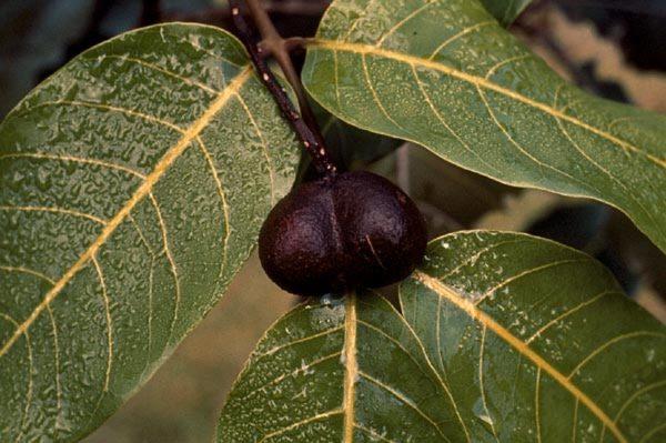 Sapindaceae - Alectryon macrococcus (Hawaii alectryon; Hawaiian alectryon; mahoe)