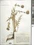 Cousinia trachyphylla Juz.