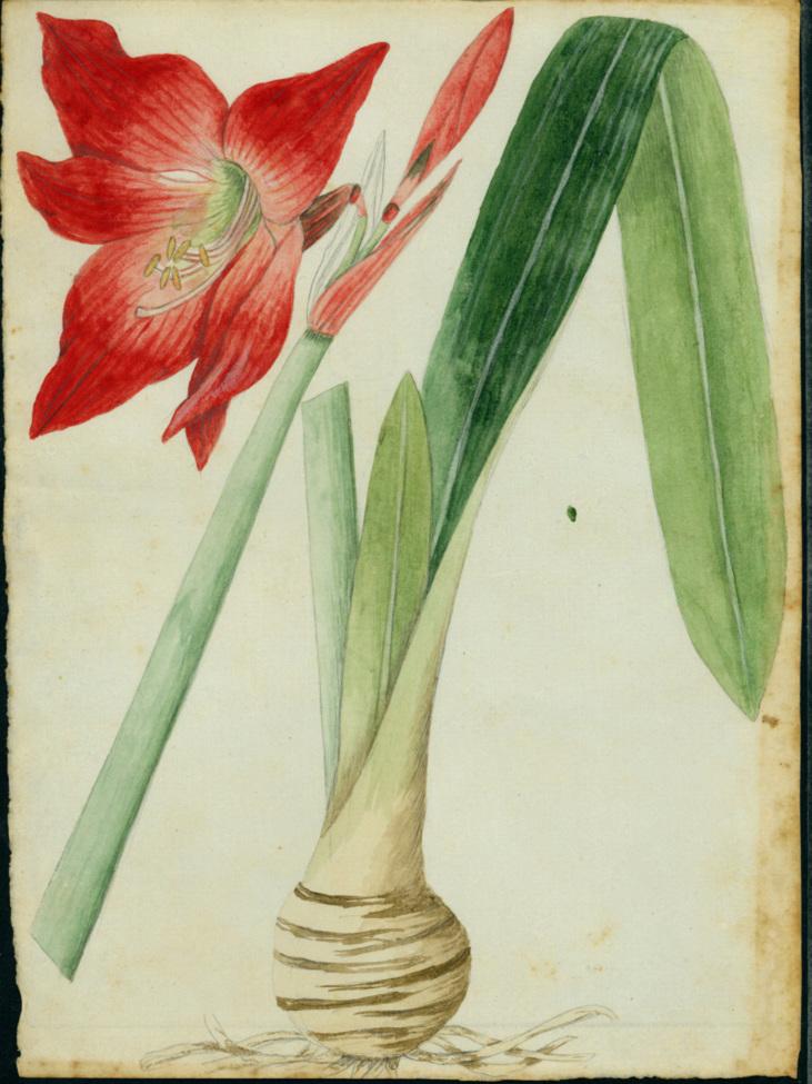 Hippeastrum puniceum image