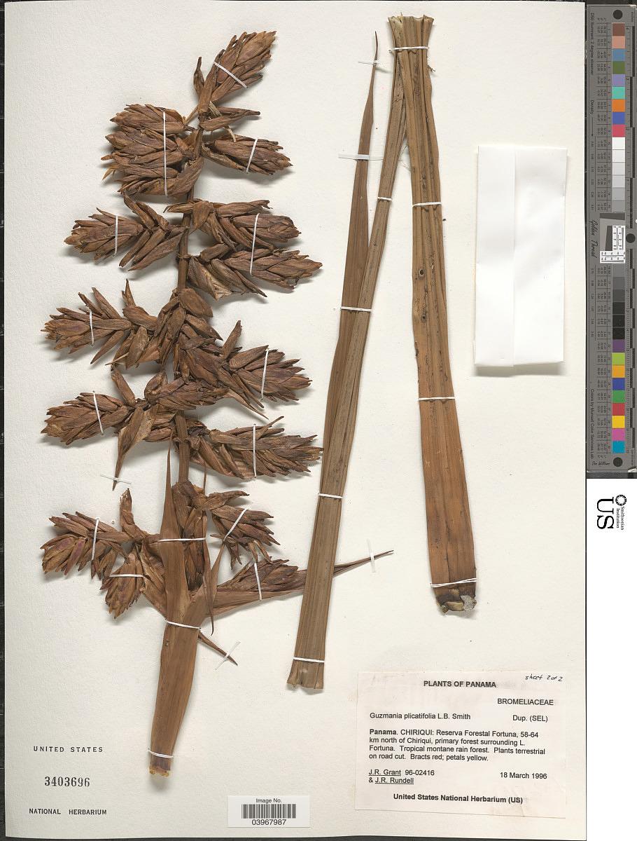 Guzmania plicatifolia image
