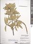 Quadrella indica (L.) Iltis & Cornejo