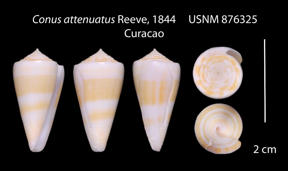 Conus attenuatus image