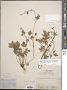 Ranunculus hispidus var. nitidus (Elliott) T. Duncan