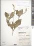Achyranthes aspera var. velutina (Hook. & Arn.) C. C. Towns.