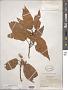 Quercus sartorii Liebm.