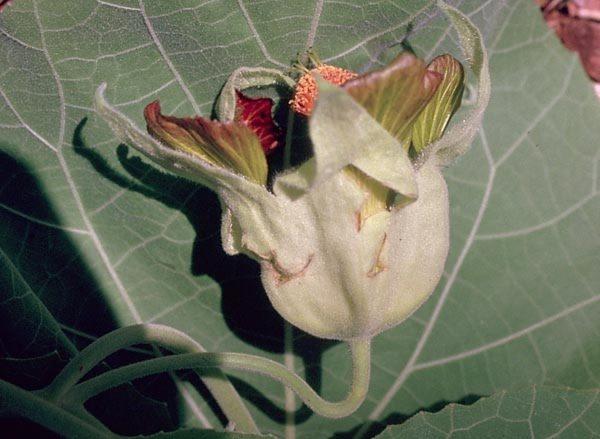 Malvaceae - Abutilon sandwicense (greenflower indian mallow)