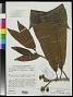Gustavia macarenensis subsp. paucisperma S.A. Mori in Prance & S.A. Mori