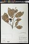 Eschweilera laevicarpa S.A. Mori