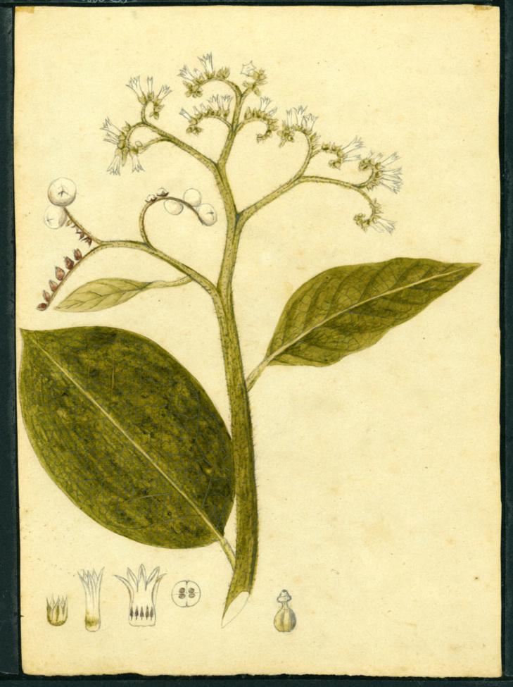 Tournefortia image