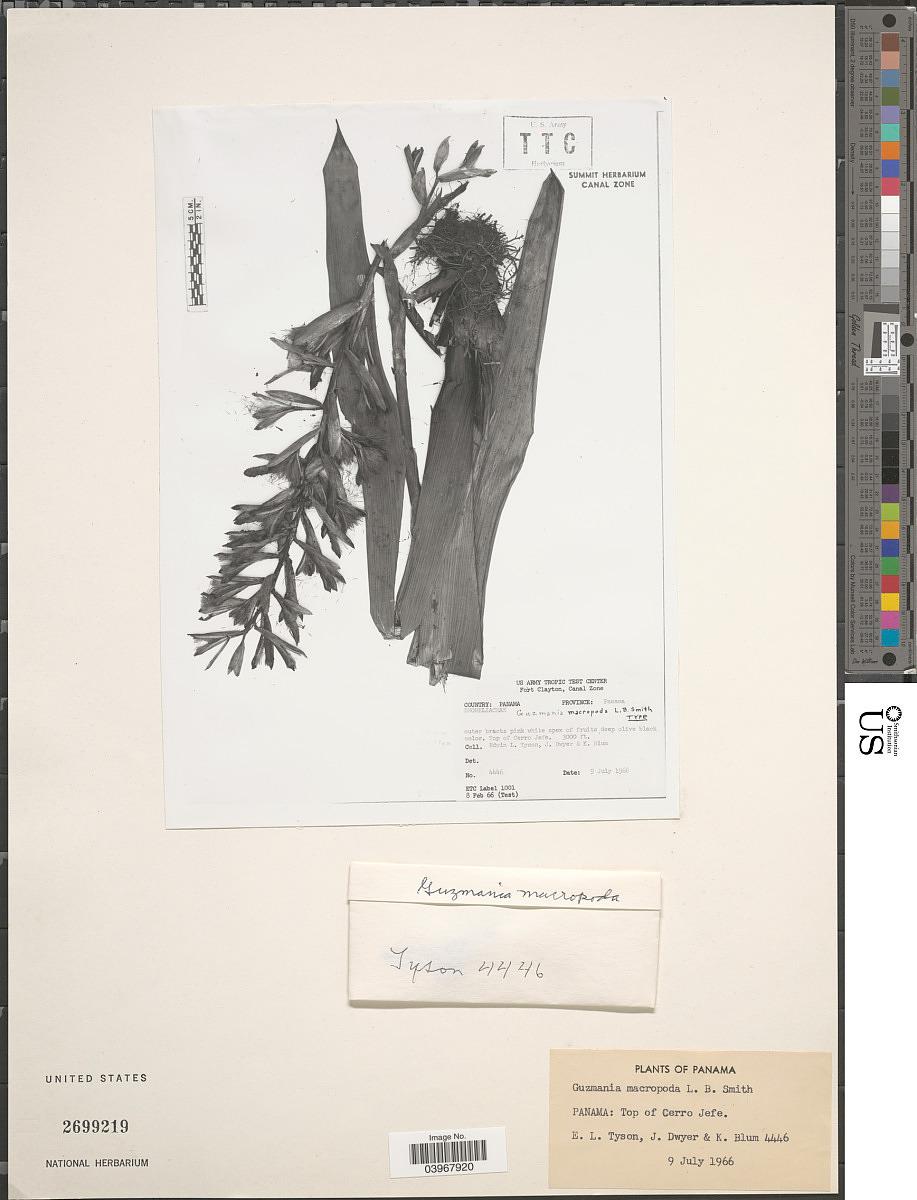 Guzmania macropoda image