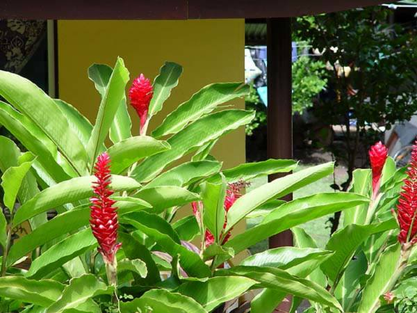 Zingiberaceae - Alpinia purpurata (Thevunga; red ginger; telan; red ginger)