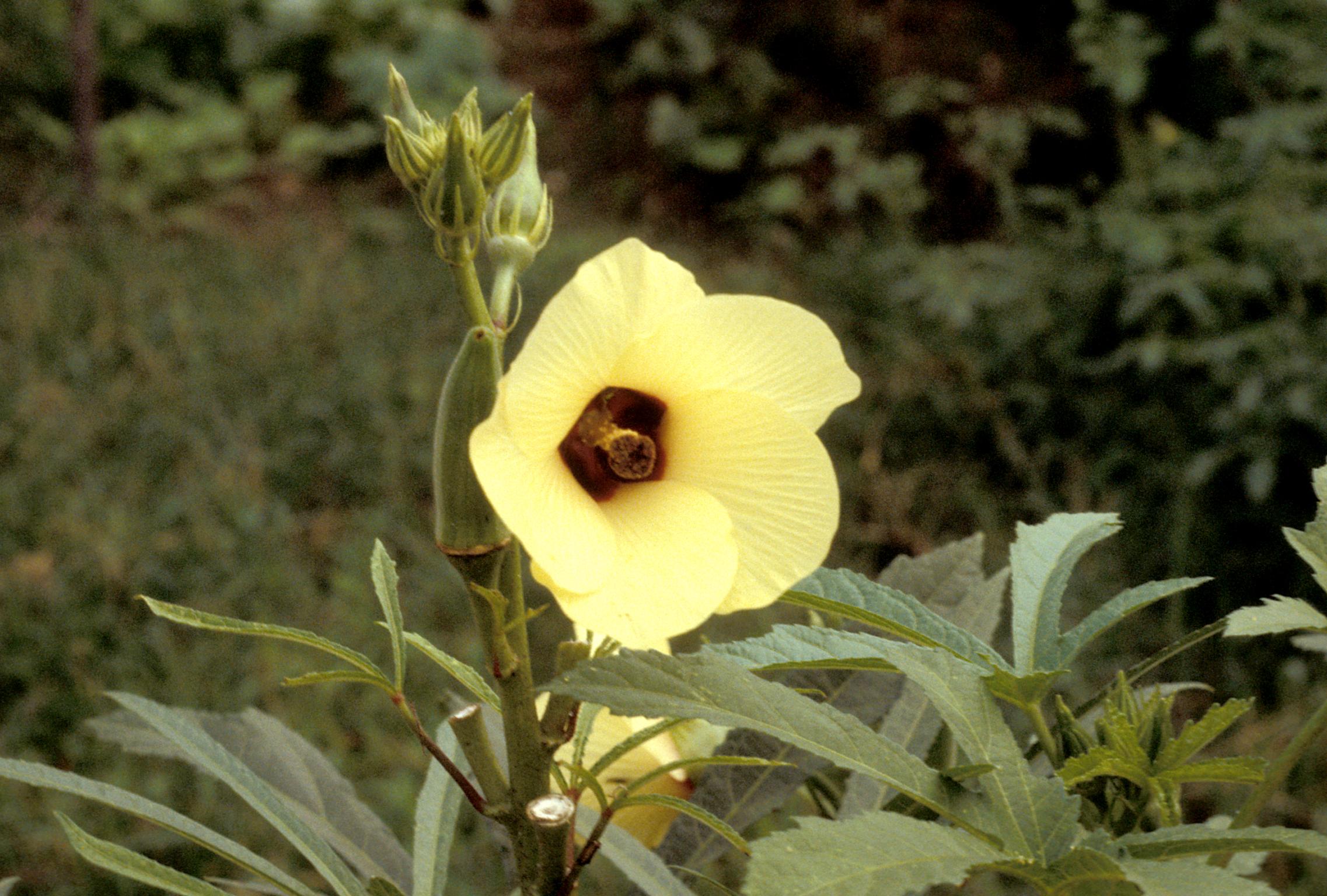 Malvaceae - Abelmoschus esculentus (okra; Gumbo)