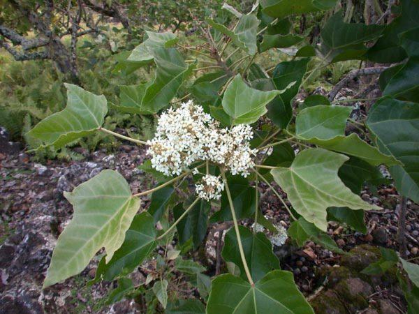 Euphorbiaceae - Aleurites moluccana (Ama; Amakiko; Intratch; kajoe djatoe; kajoe kove or kajoe kore; kanyin; lama; Lauthe; Merampangi (Gungei Kinabatangan); Mosa; Nakilogo; Native Language Symbols; Nggerenggere; Lauthe; Sakan; Sampoi (Kaigorin); Sampara (Gurumbu); Sepana (Kesawai), Beggeh (Bembi); Sikethi; Toto; Toto; Tuitui; Waiwai; candleberry; candlenut; Indian walnut; Nuez; Noisette)