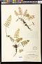 Pleopeltis michauxiana (Weath.) Hickey & Sprunt