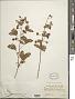 Mimosa albida Humb. & Bonpl. ex Willd.