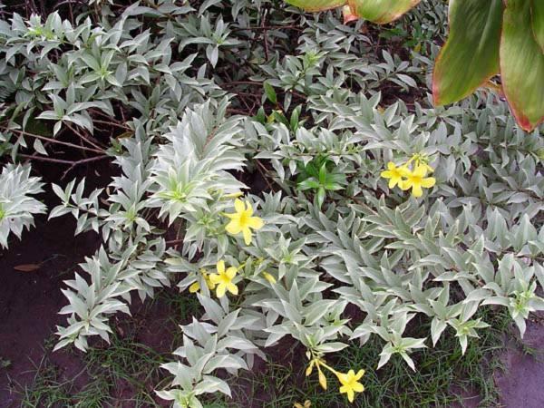 Apocynaceae - Allamanda cathartica 'Hendersonii' (golden trumpet)