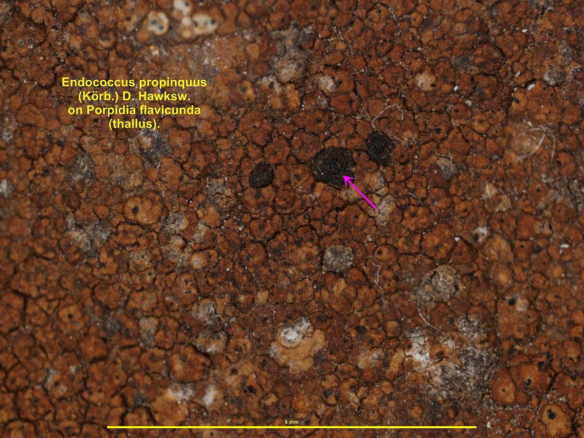 Endococcus propinquus image