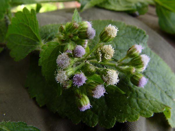 Asteraceae - Ageratum conyzoides (Billygoat Weed; Bouton Blanc; Kambin Kambing; Kambing; La tahela gelilihu; Ngmak; Ngmak; Ngmak; o aunu ma dodogumu; omusiip; Ou-lakkidne; si marbakkos-bakkos; tropical whiteweed; Babandotan)