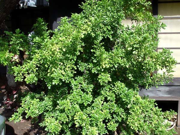 Meliaceae - Aglaia odorata (boenga roes; Culan)