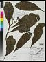 Gustavia longifuniculata S.A. Mori in Prance & S.A. Mori