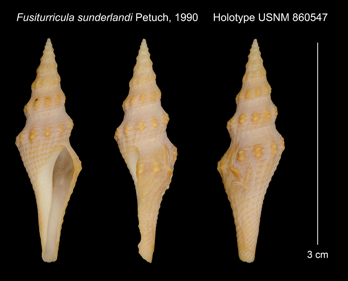Fusiturricula sunderlandi image