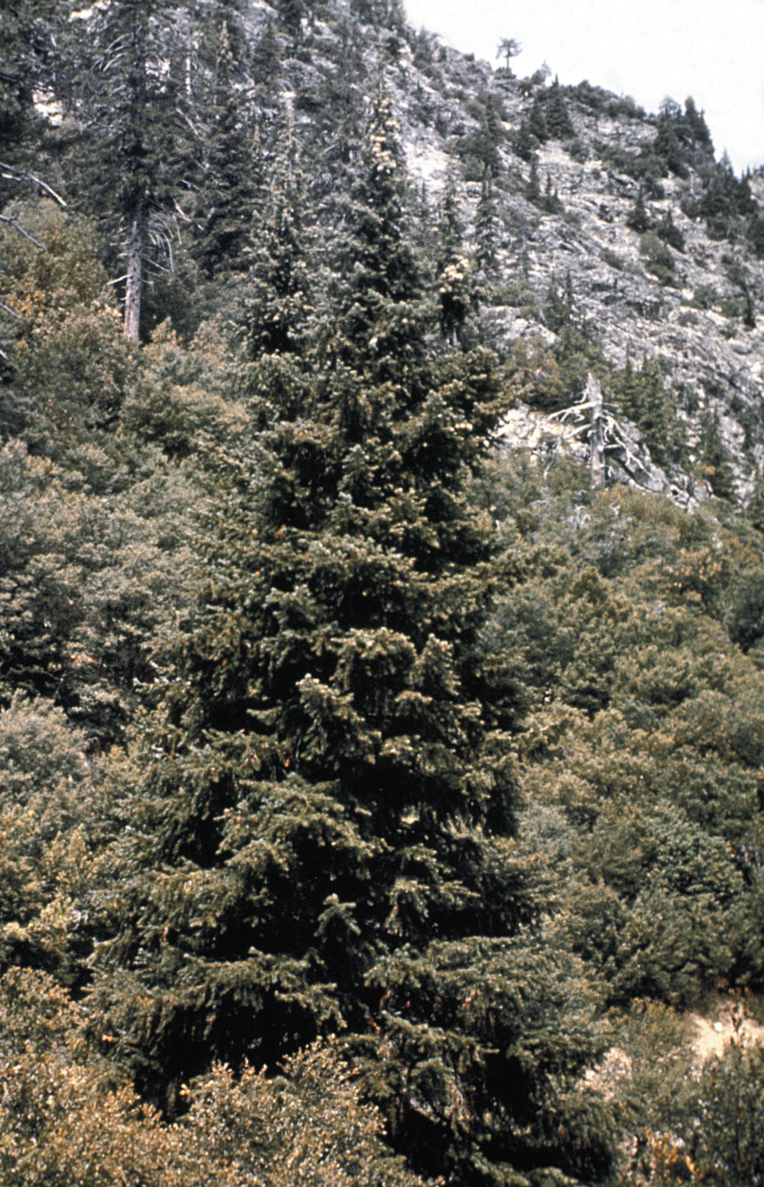 Pinaceae - Abies bracteata (bristlecone fir)