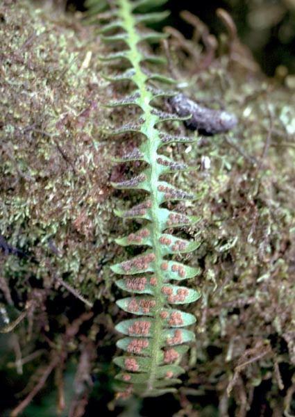 Polypodiaceae - Adenophorus periens (pendant kihifern)