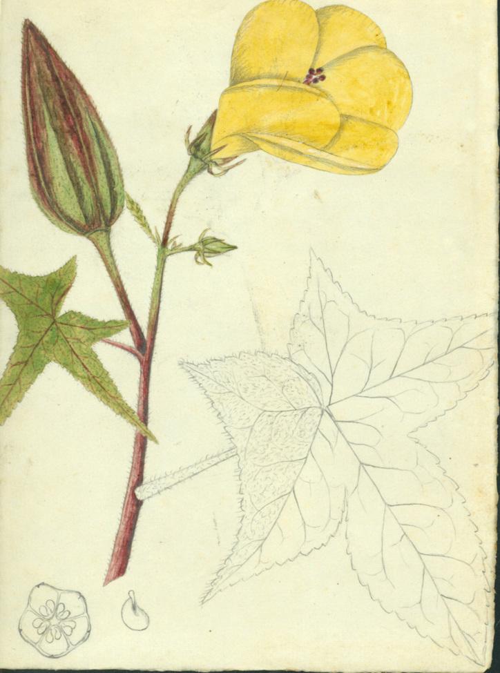 Malvaceae - Abelmoschus moschatus (Ambrette; Aute vao; Fau tagaloa; Fau'ingo; Fautagaloa; Genyow; Gombo marron; Kaanth; Kamang; Kamwayang; Kobut Kandang; Likonokow; Loa; Mo'osipo; Native language symbols; Nggatima; Si bola pinggan; Siboer pinggan; Sibola pinggan; Sutumo; Varaevau; Vauvau; Walewale)